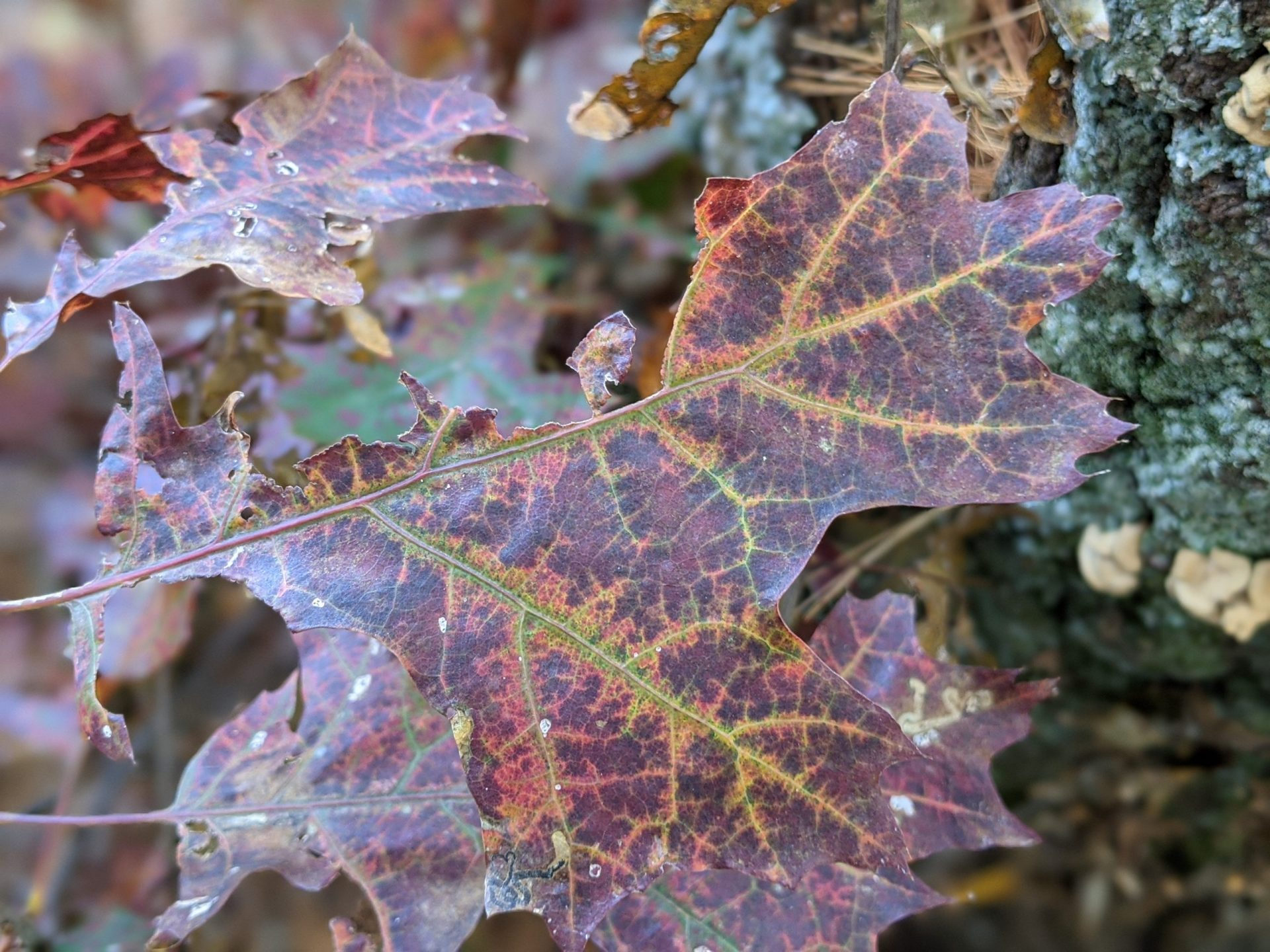 Fall leaf - purple with yellow veins - October 2020