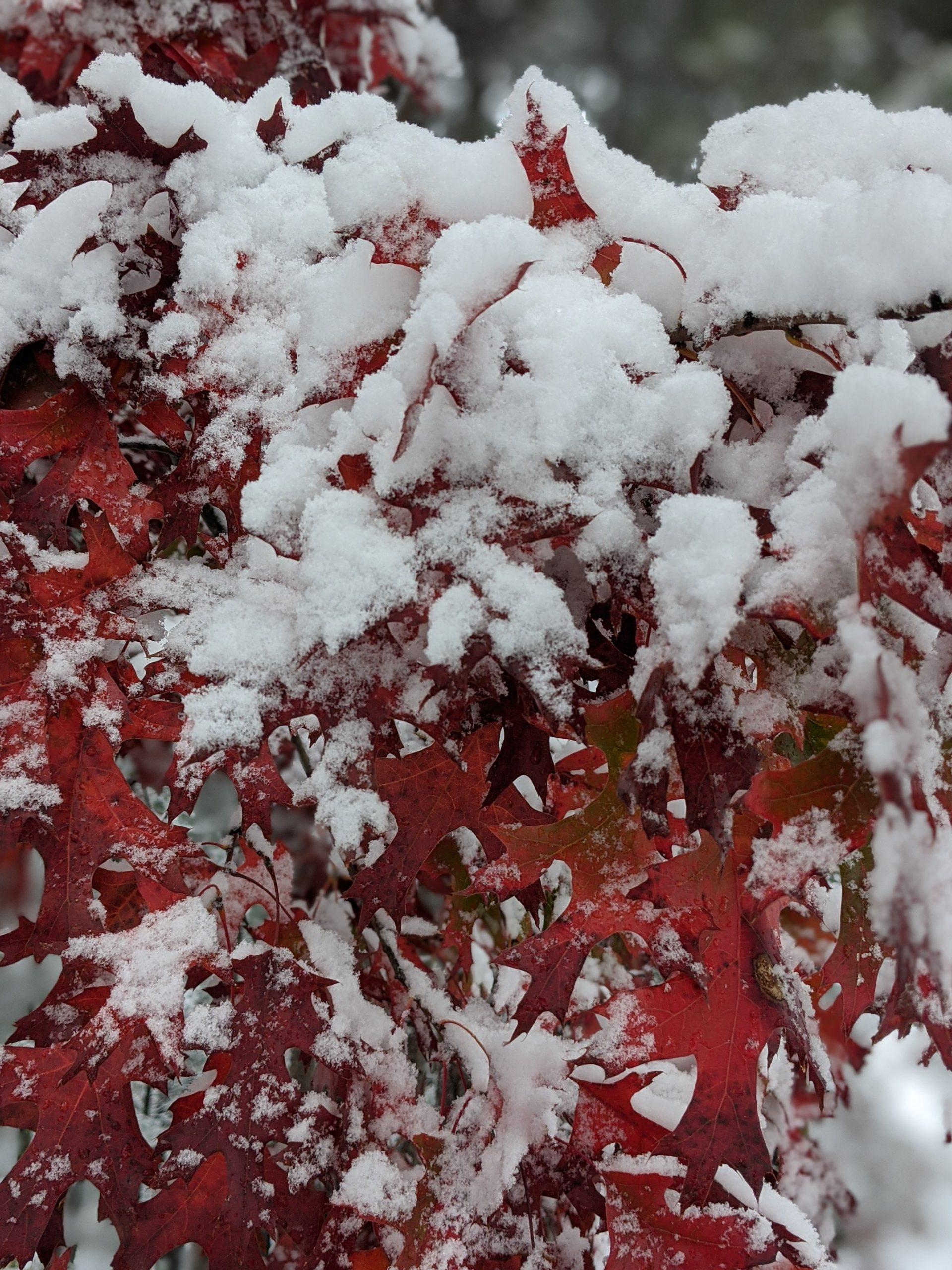Snow on red oak leaves October 2020