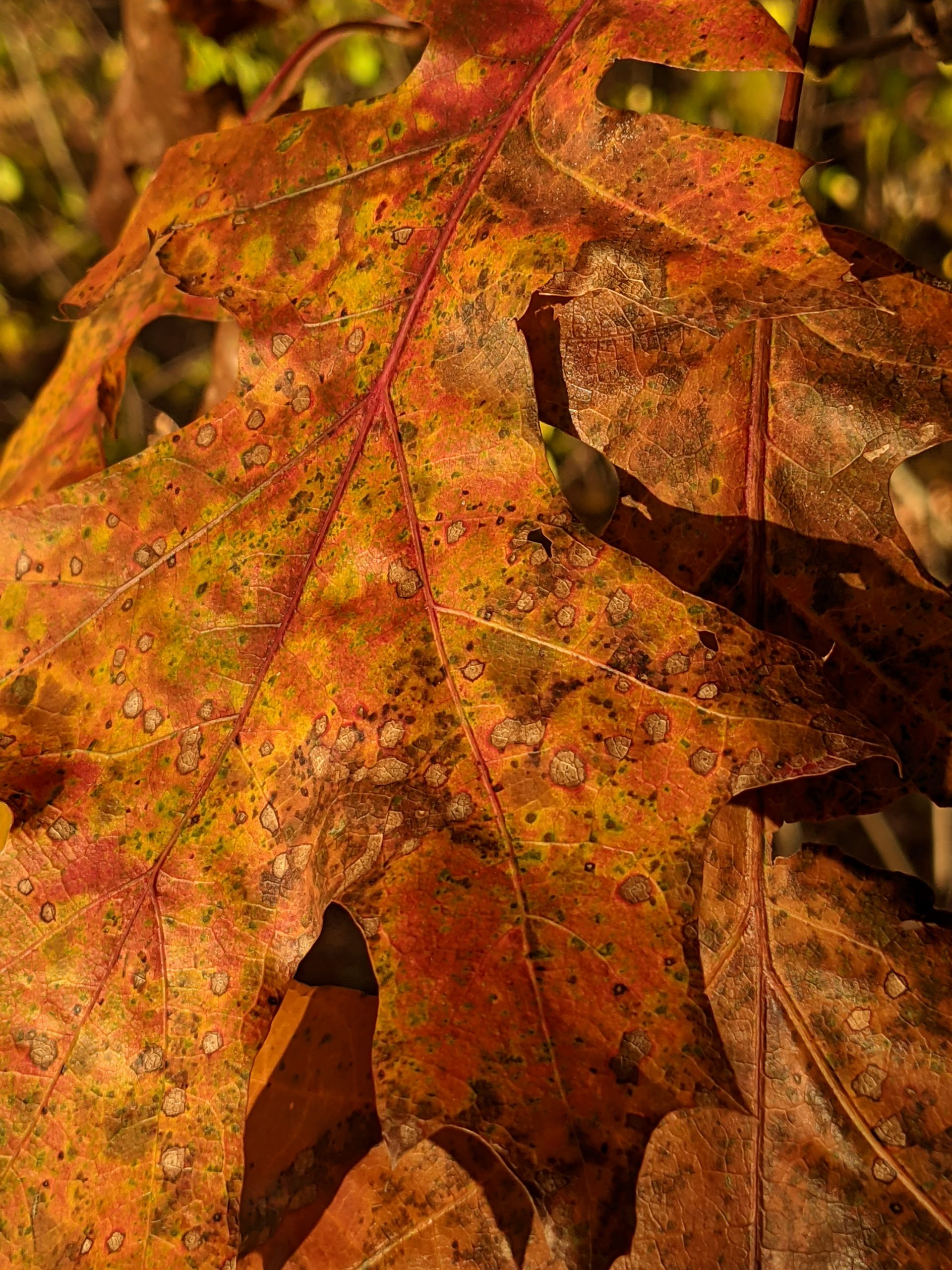 Orange oak leaf fall 2020 - fungus spotted