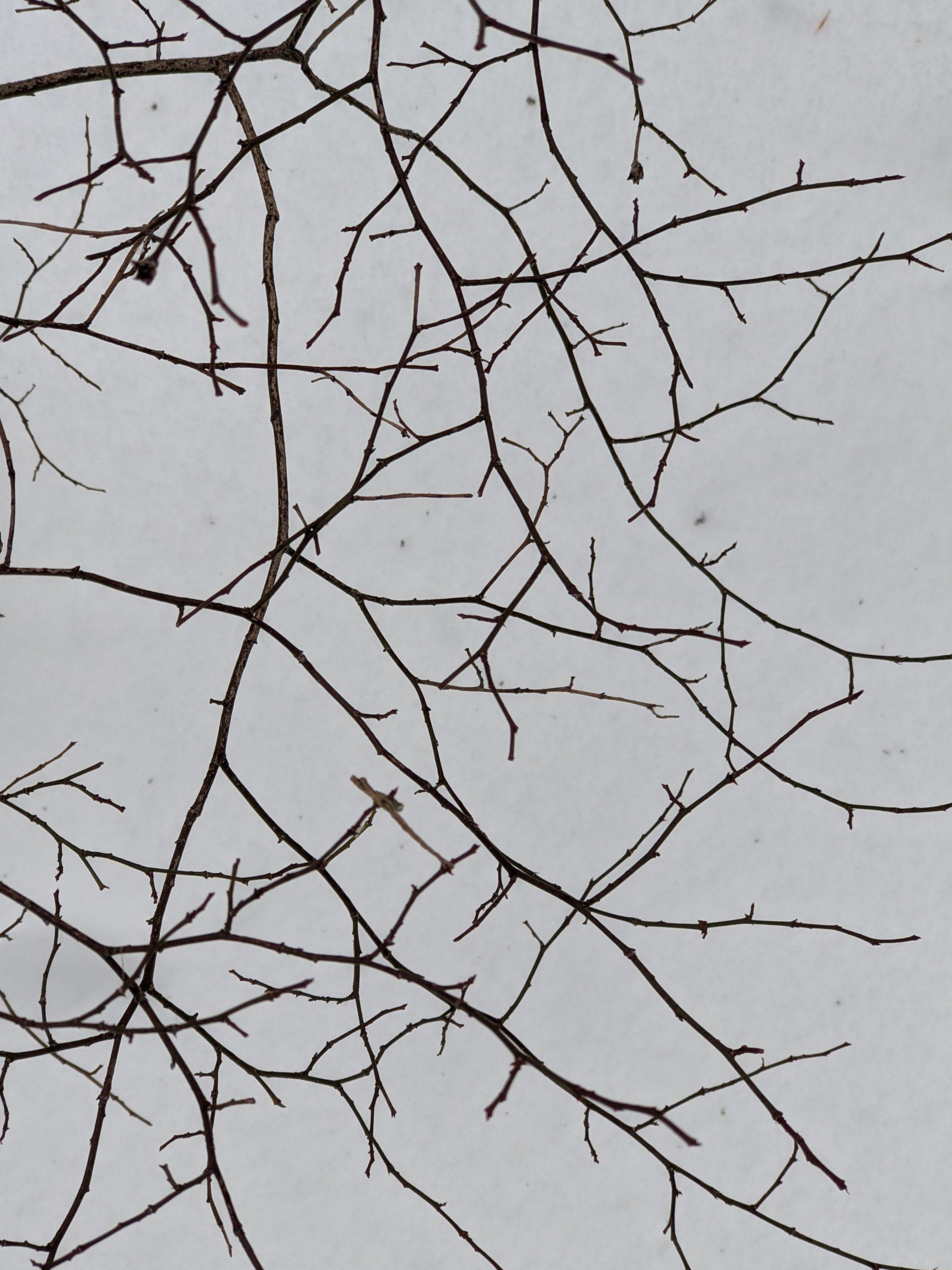Shrub twigs over snow - Ashland State Park - Dec 2020 Ashland State Park